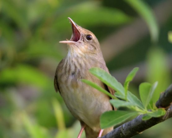 Save our Songbirds